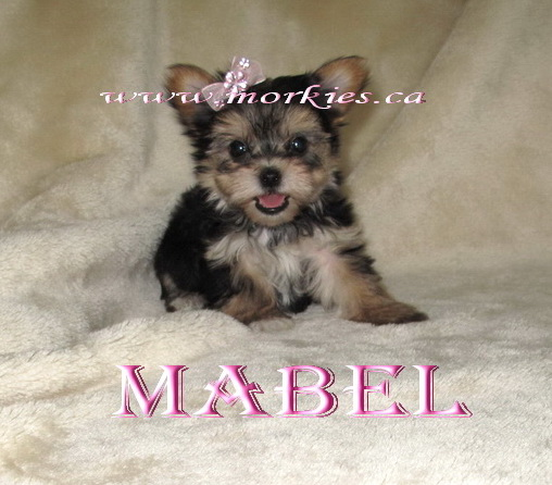 Mabel Morkie sold to Heather http://www.morkies.ca