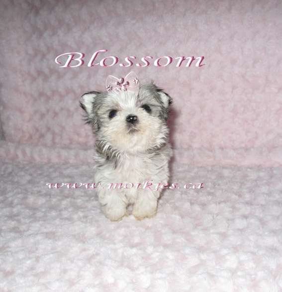 Teacup morkie white and tan is sold.  http://www.morkies.ca