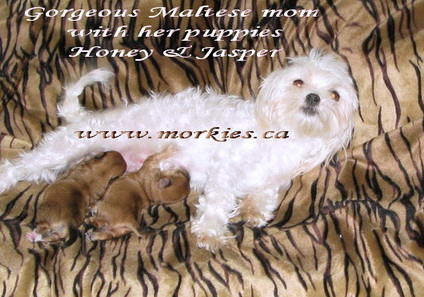 Maltese mom nursing her morkie puppies www.morkies.ca