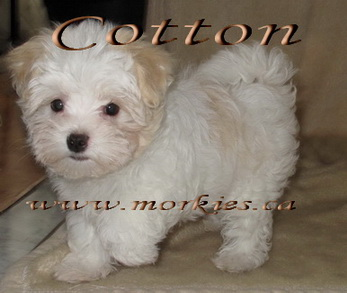Linnois White Morkie puppy, Cotton adopted to Pam and Jeff