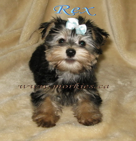 Gorgeous Morkie tri color Rex is sold from http://www.morkies.ca