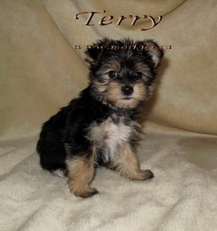 Gorgeous Terry Morkie is sold. http://www.morkies.ca